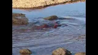 видео: Край дикого лосося
