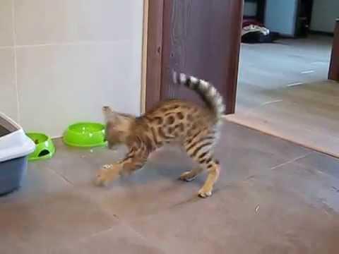 Tańczący Kot Bengalski Dancing Cat Bengal Youtube
