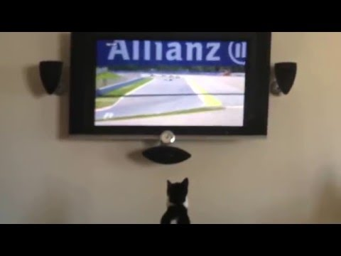 Kitten Can't Watch Hamilton & Rosberg Crash  : F1 Spanish Grand Prix