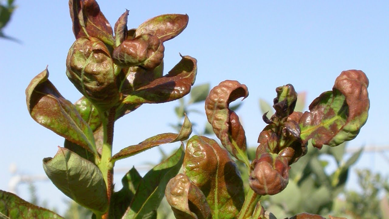 How to Control Thrips in Blueberries