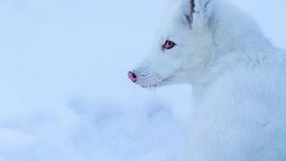 Домашний песец Сима / Arctic fox 🐺