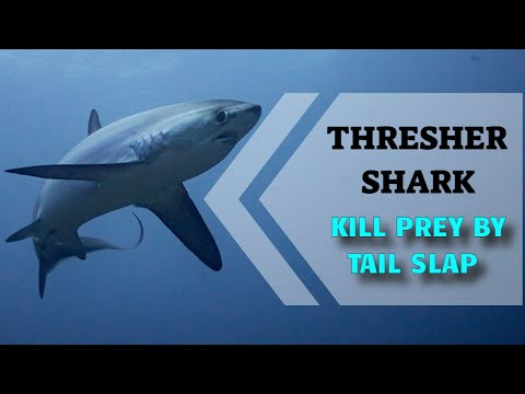 Thresher Sharks hunt with their tails, an award winning short film