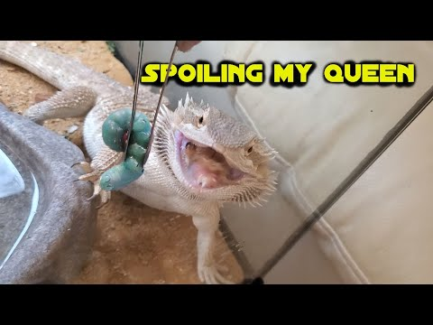 *warning* BEARDED DRAGON EATING!!!