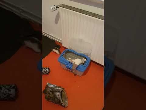 Ratten - Ankunft im Auslaufzimmer