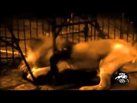 Лев против тигра лучшие бой в мире