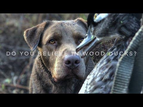 Wood Duck Limit: Excellent! Fast Action Indiana Public Land Wood Duck Hunt 2018