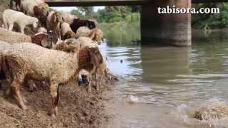 羊はあのモコモコの毛の中にダニやノミがつくのを防ぐために定期的に洗...