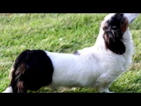 Порода собак. Альпийская гончая-такса.Очень редкая порода собак