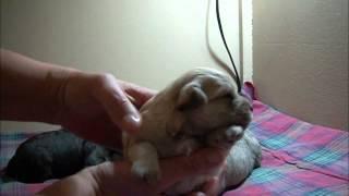 Miniature Schnauzer Puppies - 2 Weeks