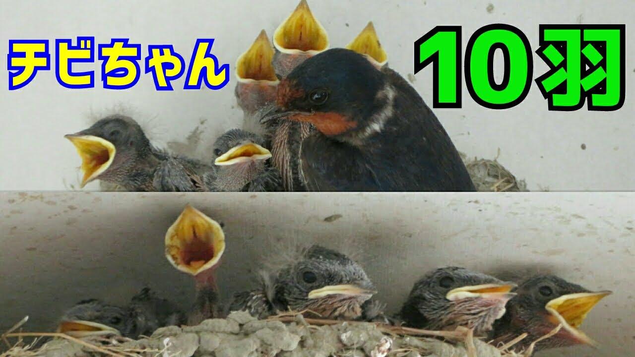 《ツバメ》2020年 我が家のツバメ⑰「車庫の中には10羽の雛」◾《Swallow》There are 10 baby birds in the garage◾