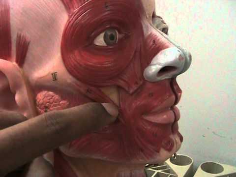 Head and neck facial