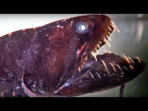 Dragon Fish, Viper Fish Or Loosejaw- All You Wanted To Know (but Were Too Afraid To Ask)