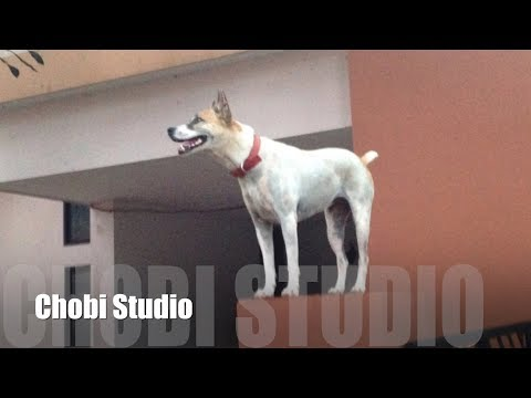 【マンガロール犬チョビさん】(4) 壁の上のチョビ / Mangalorean Dog Chobi (4) Chobi On The Wall / 門格洛爾犬 巧比 (3)牆壁上的巧比