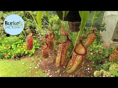 Burke's Backyard, Tropical Pitcher Plants