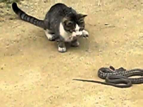 Cat Vs Snake قطو يقتل ثعبان Youtube