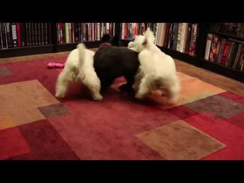 Scottie Dog and Westie Playing