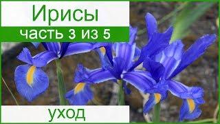 видео Подкормка ирисов весной и летом - чем подкормить ирисы для цветения и роста