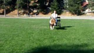 Saber Miniature Horse Driving On A Ball Field