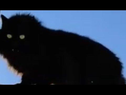 Черный кот Чернуха на дрессировке умные животные 🐱 Black cat training smart animals
