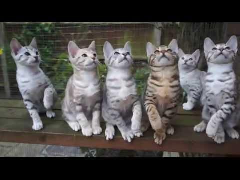 Ocicat kittens playing in unison