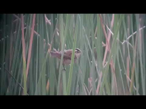Acrocephalus schoenobaenus 05 08 18 Alb Vermiosa