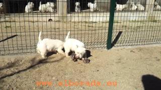 Cachorros Westie Alborada Nacidos El 16-10-2011