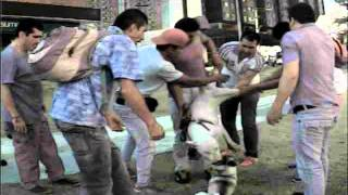 Bull Terrier Ataca Perrito