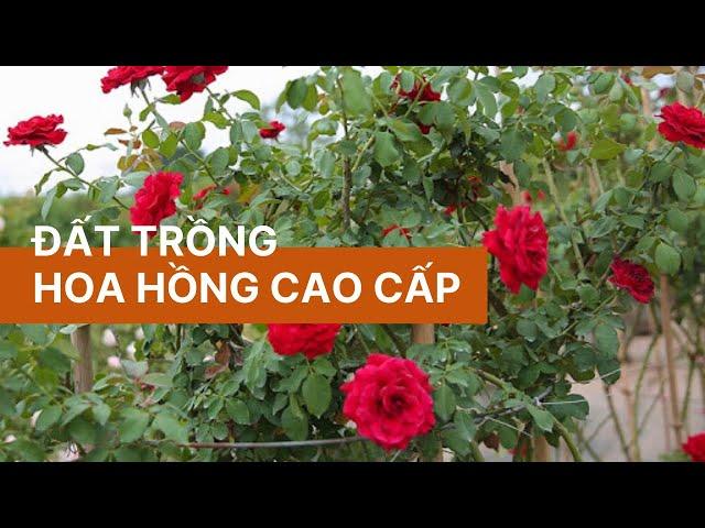 Đất trồng hoa hồng cao cấp Vườn Sài Gòn