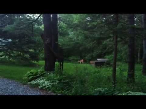 A Deer Visits Our Home In Chelsea, Quebec