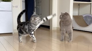 Life With Cats  American Shorthair & British Shorthair #26