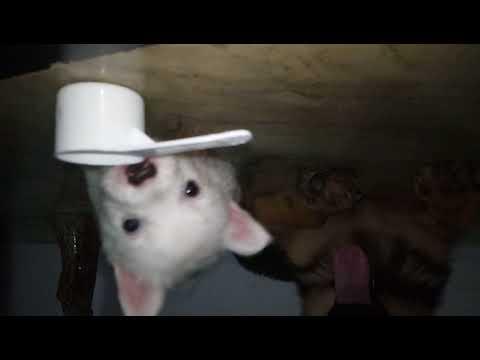 Funny German spitz puppy tries to get spoon from German shepherd