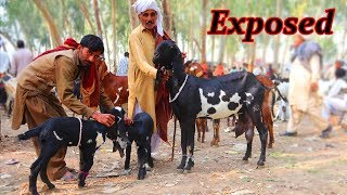 Sahiwal Nasal Ki Desi Beetal Nagri Bakriyan With Baby Goat For Sale In Sahiwal B