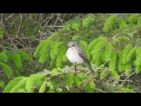 Spotted Flycatcher - Grå fluesnapper (Muscicapa striata)