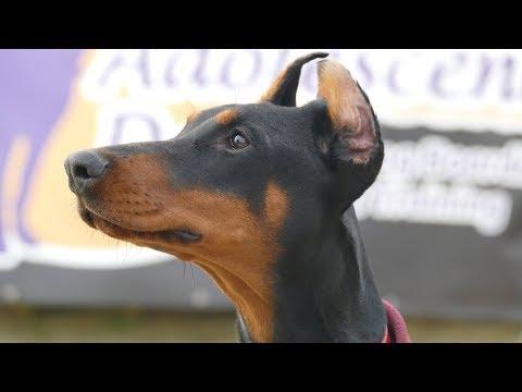 Echo - Doberman - 6 Weeks Residential Dog Training