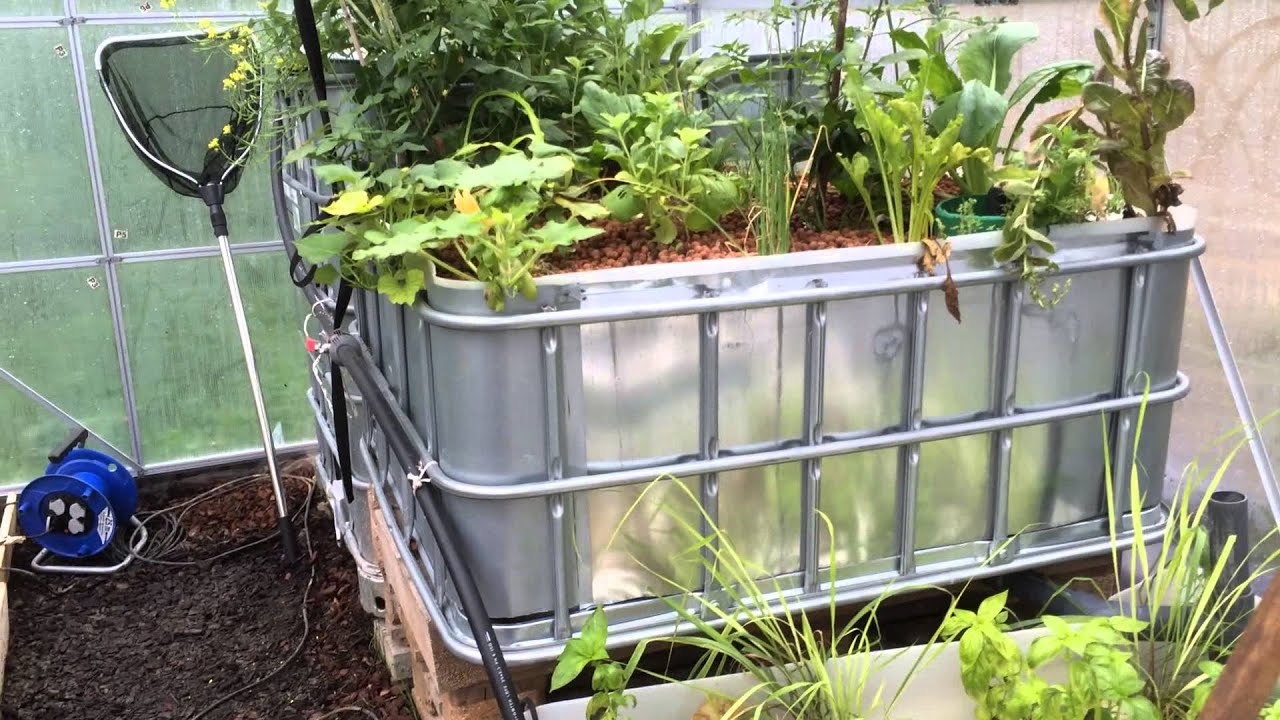 aquaponic tilapia farm youtube