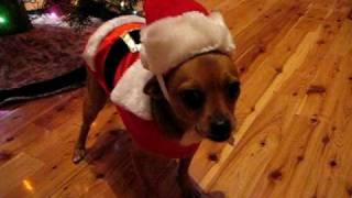 Chipper The Grinch Dog Chihuahua CHRISTMAS 2009 012.avi
