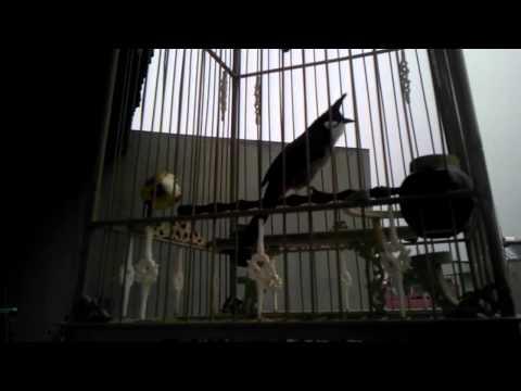 chào mào khủng long bị điên -Kênh về chim Chào mào của Triệu Triệu