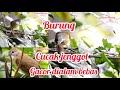 Cucak Jenggot Liar Gacor Cocok Untuk Masteran Burung Cucak  Mp3 - Mp4 Download