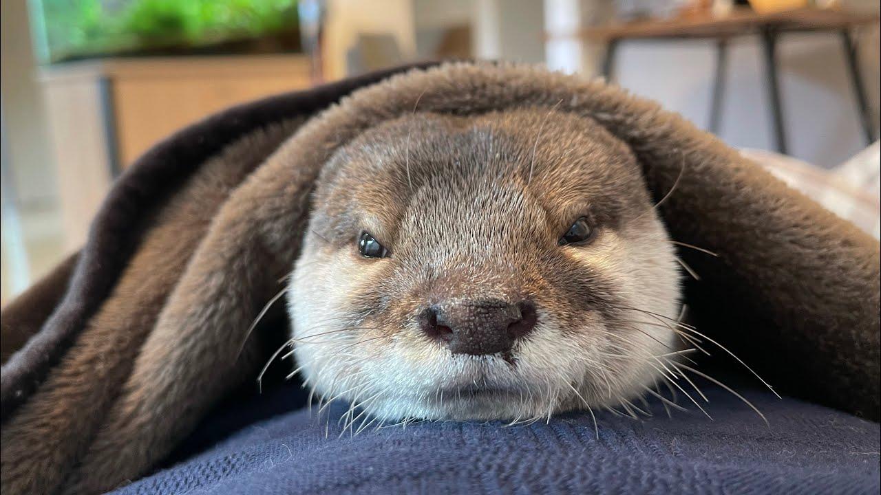 カワウソさくら 朝起こしてくれるカワウソのような目覚まし Alarm clock like an otter