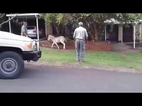 Ezemvelo KZN Wildlife officers dart the zebras in Mtunzini 1