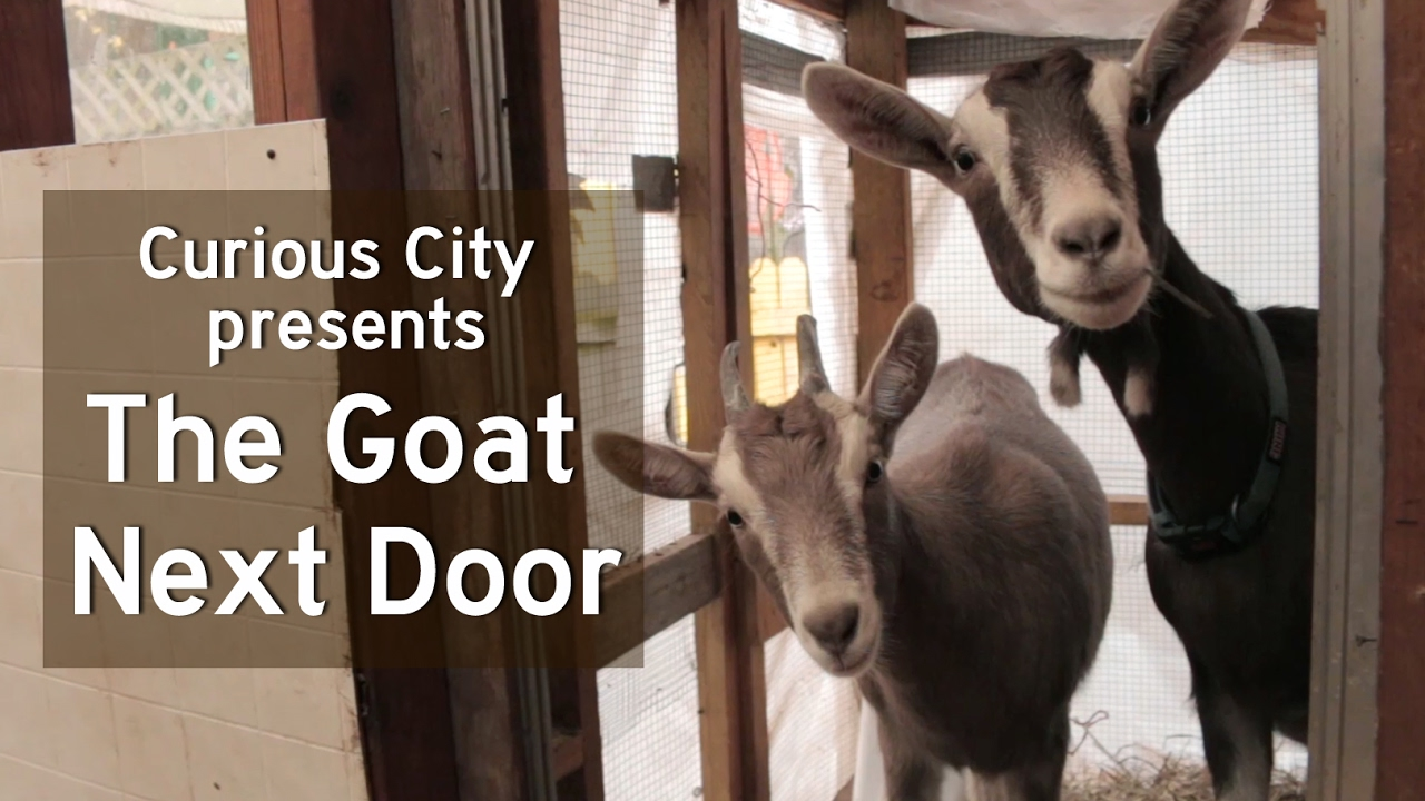 What Are The Limits On Backyard Livestock In Chicago? | WBEZ