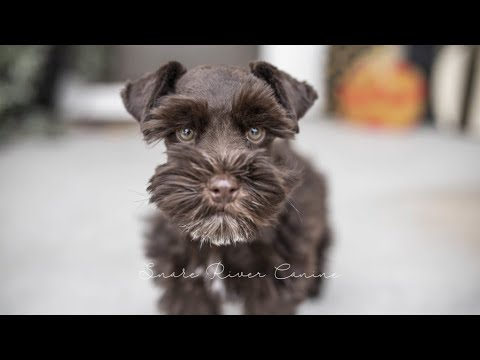 A Day in the Life of Schnauzer Puppy Cody - SRC Puppy Training