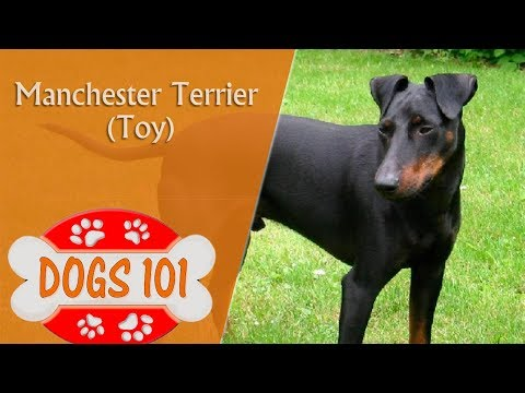 Dogs 101 - TOY MANCHESTER TERRIER - Top Dog Facts About the TOY MANCHESTER TERRIER