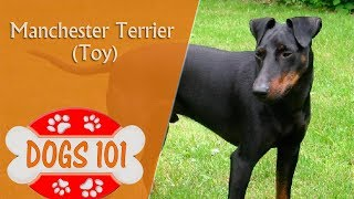 Dogs 101  TOY MANCHESTER TERRIER  Top Dog Facts About the TOY MANCHESTER TERRIER
