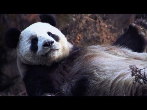 Protecting pandas—and the planet