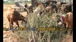 Goat Farming in Pakistan Urdu