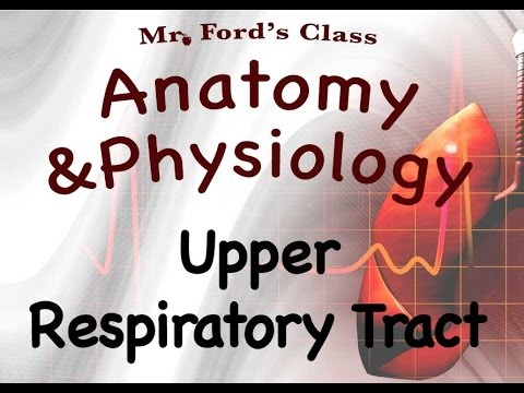 Respiratory System : Upper Respiratory Tract Of The Respiratory System (16:02)