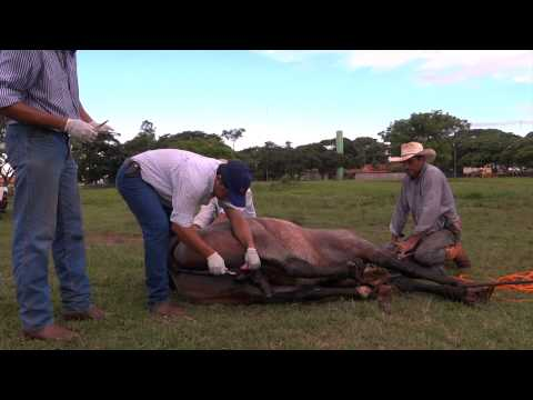 Castração do Capa Preta EFC - Cavalo Crioulo
