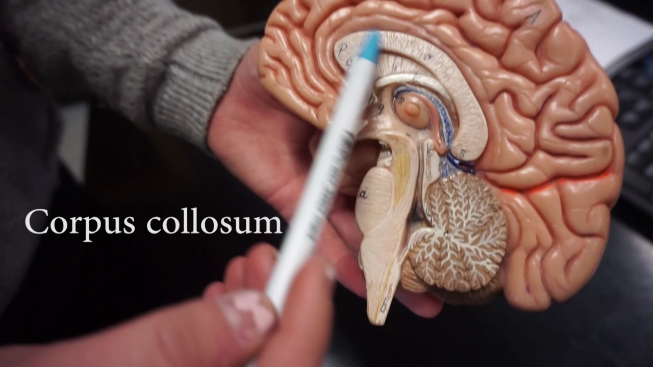 Anatomy lab brain and spinal cord - YouTube