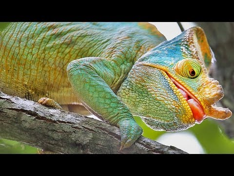Colourful Chameleons Of Madagascar! Video Series.